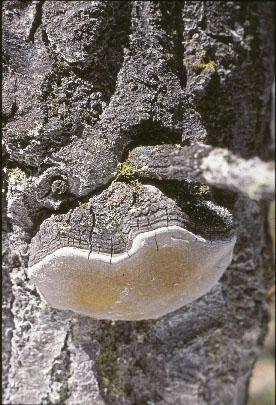 Phellinus Igniarius